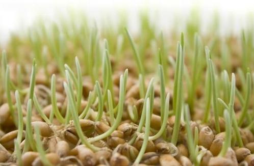 Sử dụng mầm lúa mạch là cách trị tàn nhang, nám da an toàn tại nhà