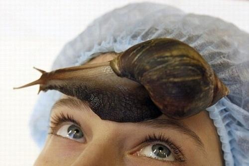 Làm đẹp bằng cách này bạn có thể giã nhỏ ốc sên chắt lấy chất nhờn hoặc có thể để chúng di chuyển trên da của bạn