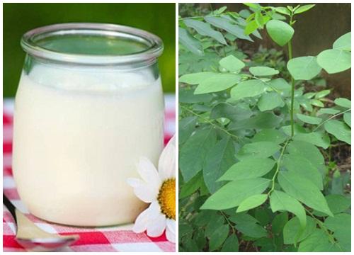 Trị nám bằng rau ngót kết hợp sữa chua rất an toàn nên thích hợp cho mọi loại da.