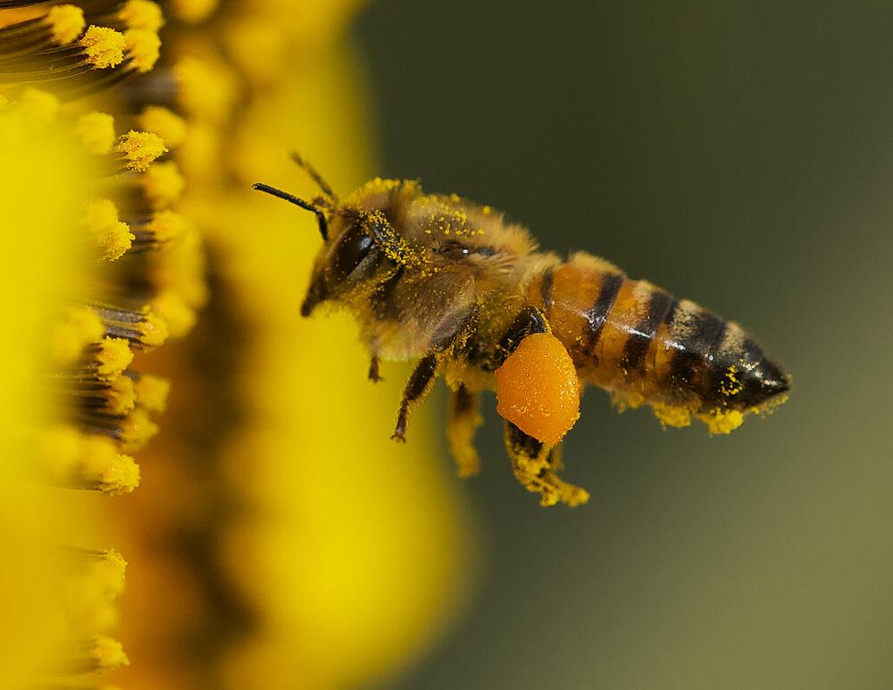 Phấn hoa là những hạt phấn li ti thu từ nhị hoa đực được ong thu lượm về tổ