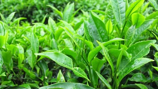 Mặt nạ từ trà xanh rất an toàn nên có thể sử dụng cho mọi loại da mà không gây kích ứng.